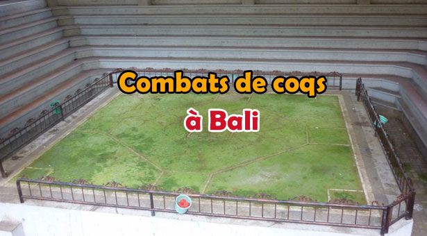 Combat de coqs Traditionnel à Bali : Photos, Vidéo