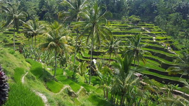 Les magnifiques rizières de Tegalalang près d'Ubud
