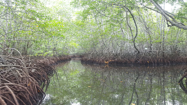 Mangrove Nusa Lembongan Bali (72)